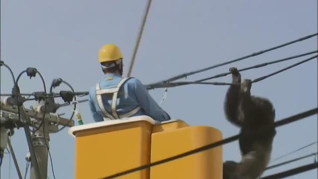 Raw: Escaped chimp makes high-wire getaway